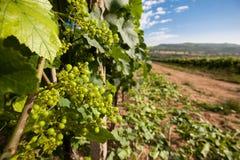 Vinranka Chardonnay Royaltyfri Fotografi