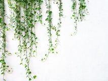 Vinranka eller krypa växttillväxt på den vita väggbakgrunden med kopieringsutrymme royaltyfria bilder