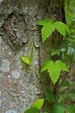 Vinranka för giftek som växer på ett träd Arkivfoton