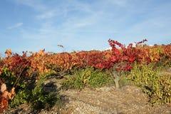 Vinranka i Minervois, Frankrike arkivbild