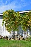 Vinranka i nedgång Royaltyfri Foto