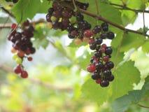 Vinranka i vingård Royaltyfria Bilder