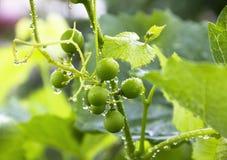 Vinranka med droppar efter regn Arkivbild