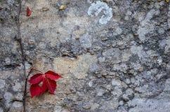 Vinranka med röda sidor som klamra sig fast intill en vägg Royaltyfri Foto