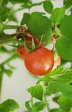 Vinranka mogna Cherry Tomatoes Royaltyfria Foton