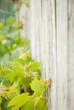 Vinranka mot staketet Fotografering för Bildbyråer