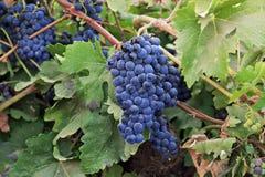 Vinranka och mogna druvor Arkivfoton
