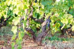 Vinranka och vingård, mogna av druvor, druvavinranka och en grupp av druvor, ett italienskt landskap med en vingård royaltyfria bilder