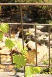 Vinranka på ett gammalt järnstaket Royaltyfri Bild