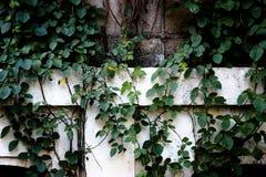 Vinranka på väggen Royaltyfria Bilder