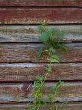 Vinranka som klättrar den gamla ladugårdväggen Arkivfoton