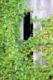 Vinranka som klättrar sidan av en ladugård Arkivbild