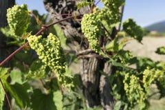 Vinranka som smittas av phylloxeraparasit i vingård arkivfoton