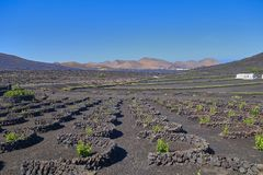 Vinranka som växer på ön av lanzarote i Atlanticet Ocean royaltyfri bild