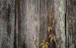 Vinranka som växer på övergiven ladugård Royaltyfri Fotografi