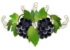 Vinrankadruvor Arkivbilder