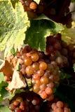 Vinrankadruvor som är klara att väljas upp Arkivbild