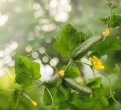 Vinrankagurka med saftiga frukter Arkivfoto