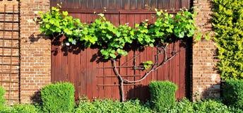 Vinrankaklättrare på ladugårddörren fotografering för bildbyråer