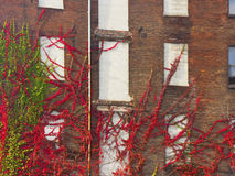Vinrankaklättringvägg av gammal byggnad Arkivbild