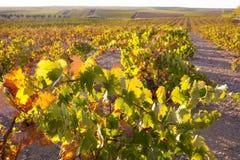 Vinrankakoloni under oktober solnedgångljus på Tierra de Barros Royaltyfri Bild