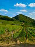 vinrankan planterar vingården Royaltyfri Bild