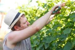 Vinrankaodlaren kontrollerar den vita druvan i vingården vid soligt väder Arkivbilder