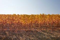 Vinrankarad i hösten med gula sidor, blå himmel i en solig dag Fotografering för Bildbyråer