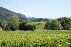 Vinrankarader - Italien, Franciacorta Arkivbild