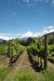 Vinrankarader - Italien, Franciacorta Royaltyfri Bild