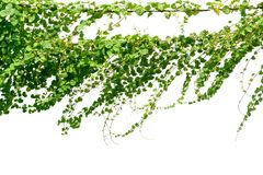 Vinrankaväxt, murgrönasidaväxt på poler som isoleras på den vita backgrouen Arkivfoton