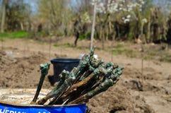 Vinrankor för att plantera Royaltyfri Foto