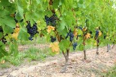 Vinrankor för druva för Cabernet francsvart fotografering för bildbyråer