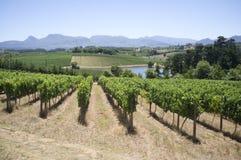 Vinrankor i Elgin Valley Western udde S Afrika royaltyfri bild