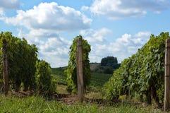 Vinrankor i Frankrike Royaltyfri Fotografi