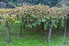 Vinrankor i Gramado royaltyfria bilder