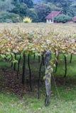 Vinrankor i Gramado arkivbilder