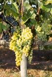 Vinrankor i höst Fotografering för Bildbyråer