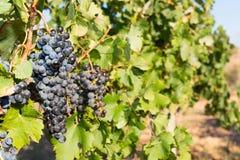 Vinrankor i höst Arkivbild