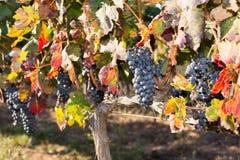 Vinrankor i höst Arkivfoto