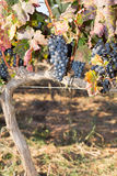 Vinrankor i höst Arkivfoton