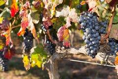 Vinrankor i höst Arkivbilder