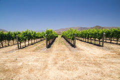 Vinrankor i Kalifornien arkivbild