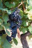 Vinrankor i vingård, frankovka och grasevina Arkivfoto