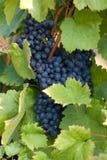 Vinrankor i vingården, frankovka Royaltyfri Foto