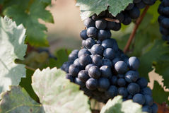 Vinrankor i vingården, frankovka Royaltyfria Bilder