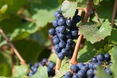 Vinrankor i vingården, frankovka Royaltyfri Bild