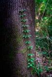 Vinrankor klättrar ett träd Royaltyfri Bild