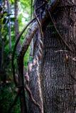 Vinrankor klättrar ett träd Fotografering för Bildbyråer