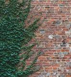 Vinrankor klättrar upp en tegelstenvägg och erbjuder en intressant halv vägmodell arkivbilder